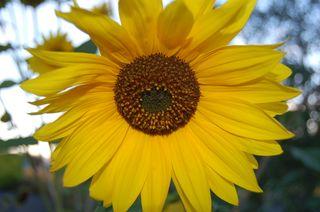 JosephSunflower