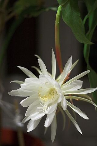 399px-Night_Blooming_Cereus
