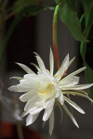 399px-Night_Blooming_Cereus