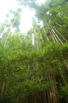 Bambooforest_2